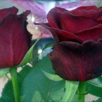 Любимые розы :: Нина Корешкова