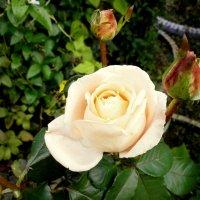 Аромат розы.... :: Валентина Жукова
