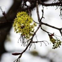 Там, где клен цветет.. :: Ирина Приходько