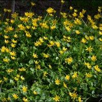 Чистяк весенний - одно из наиболее заметных весенних растений. :: Anna Gornostayeva