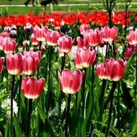 Тюльпанов много не бывает :: Alexander Andronik