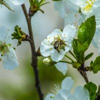 пчела в цветке черешни :: Дмитрий Потапкин