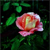 Сентябрьская роза :: muh5257