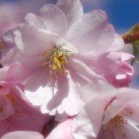 Сакура в Королевском саду :: Swetlana V