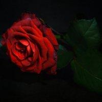 Увядающая красота розы :: Галина Galyazlatotsvet