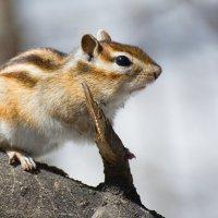 Сибирский бурундук :: Глеб Павленко