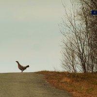 Кого ждем? :) (капалуха,самка глухаря) :: Олег Дмитриев