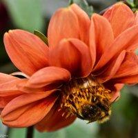 Пчёлка на цветке. :: Виктор Евстратов