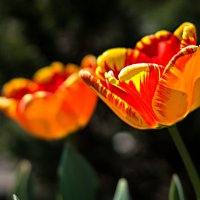 Tulpen :: Anna Schmel