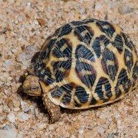 В национальном парке Удавалаве. Звёздчатая черепаха. :: Edward J.Berelet