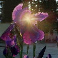 И солнца примесь,бутоны, лепестки,стеблей извивы. :: Наталья Джикидзе (Берёзина)