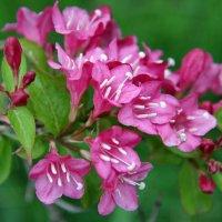 Во саду цветочки... :: Виолетта