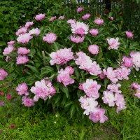 Цветы в моем огороде :: Валерий Талашов