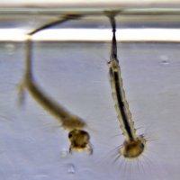 Личинки комаров-4 :: Александр Рябчиков