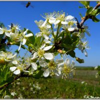 Цвет дикой вишни :: Андрей Заломленков