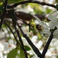 С цветка на цветок, Летает пчела. Готовит медок, Всегда весела. :: Нади часоК