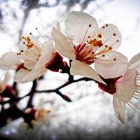 Абрикосы весной :: Виктория Власова