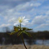 Нежный весенний цветок :: Вера Андреева