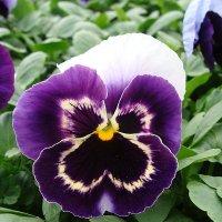 Viola x wittrockiana   Select Beaconsfield :: laana laadas