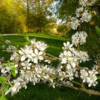 """""""Сады цветут! И столько в них Любви - В бушующем, кипящем белоцветьи..."""" :: Galina Dzubina"""