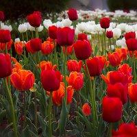Тюльпановая поляна... :: Ирина Рассветная