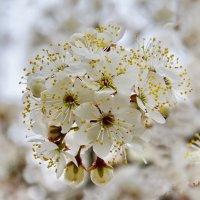 Абрикос  цветет. :: Валера39 Василевский.