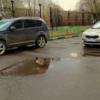 Уточки в Москве на дороге :: Svetlana27