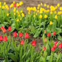 Тюльпаны :: vcherkun
