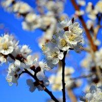 И вновь распускаются сады :: galina tihonova