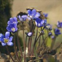 Весенниe  цветы. :: Елена Kазак
