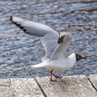 Как модель большая чайка.... :: Анатолий Клепешнёв