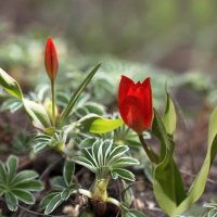 Маленькие тюльпаны в листьях манжетки :: Елена Ахромеева