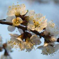 Солнечный луч коснулся цветущей ветки :: Елена Миронова