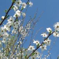 сады цветут :: георгий петькун