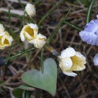 Первоцветы под дождём :: Aнна Зарубина