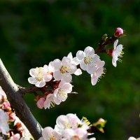 Цветы абрикоса :: Михаил Болдырев