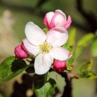Мой сад весной. :: Леонид Марголис