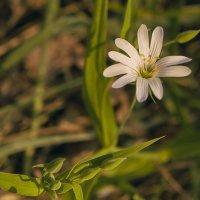 беленький цветочек :: аннушка