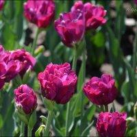 Как люблю красоту и блаженство тюльпанов… :: Anna Gornostayeva