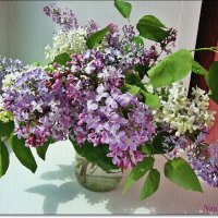 Запахи сирени на окне :: Лидия (naum.lidiya)