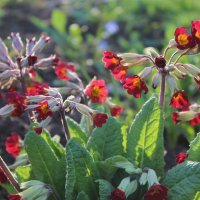 Примула цветёт :: Mariya laimite