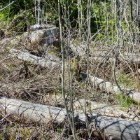 Нам леса не жалко :: Валерий Талашов