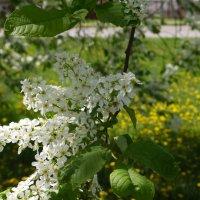 Черёмуха, одуванчики, весна! :: Сергей Махонин