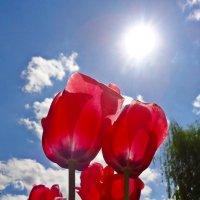 Поближе к свету вытянули шеи И тонкий запах издают тюльпаны... :: Galina Dzubina