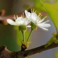 белоснежная вишня :: Lena