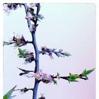Весна, абрикос :: алекс дичанский