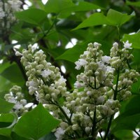 В мае белая сирень... :: Тамара (st.tamara)
