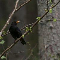 Чёрный дрозд :: Ramunas Einoris