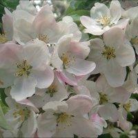 Яблонька в бело-розовом цвете :: Нина Корешкова