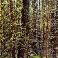 Леса оделись в клейкую листву... :: Лесо-Вед (Баранов)